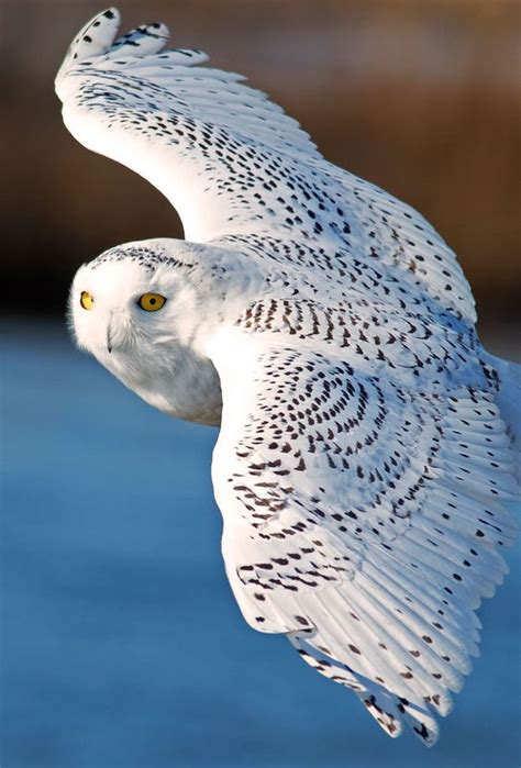 snowy owl owl and owl bird on pinterest