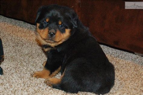 250 lb rottweiler rottweiler puppy for sale near harrisburg pennsylvania d4255328 de91