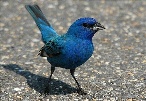 How To Attract Indigo Buntings To Your Backyard by Bird Pictures Indigo Bunting Passerina Cyanea By Linthicum