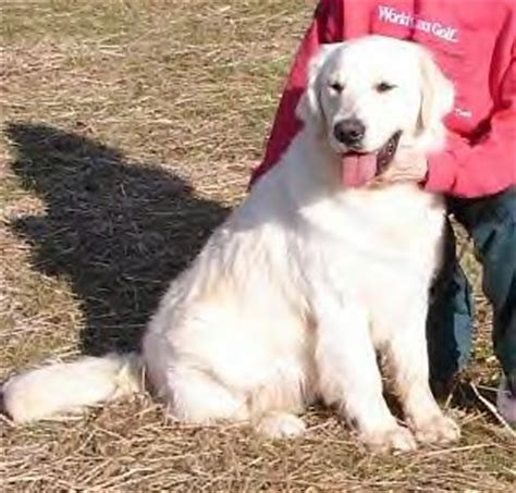 golden retriever adults for adoption goldendoodle nursery goldendoodles adoption a blessing 4u