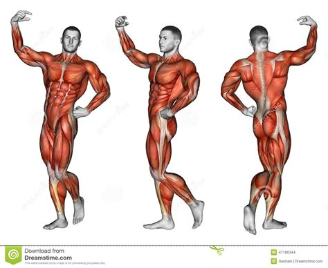 human muscles diagram human groups human anatomy system