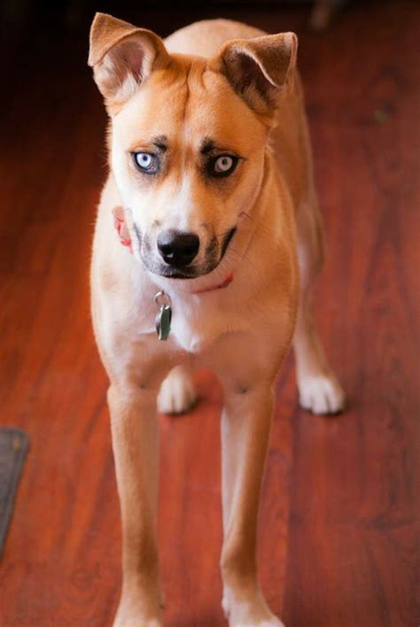 boxer husky mix puppies 15 boxer cross breeds you ve got to see to believe
