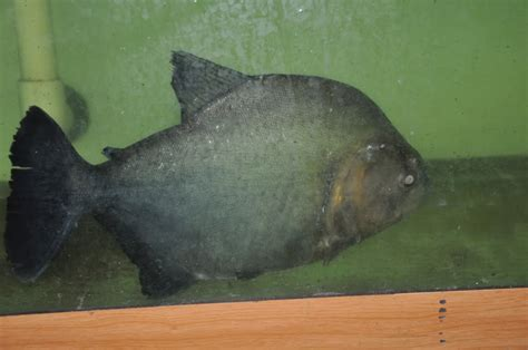 aquascape piranha stock pics monsterfishkeepers