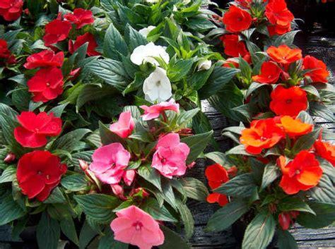 fiori di vetro piante da vaso impatiens piante di vetro lisetta