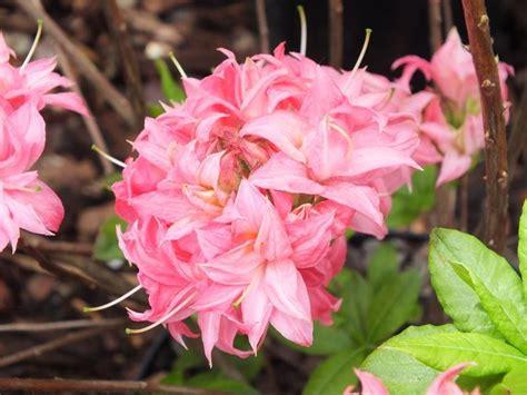 Azalea Shoo rhododendron homebush rhododendrons plants