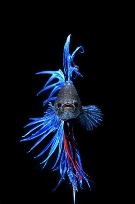 royal blue crowntail betta beautiful my future pets betta royal blue and royals