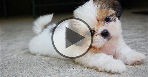 tea cup shih tzu puppies shih tzu puppies