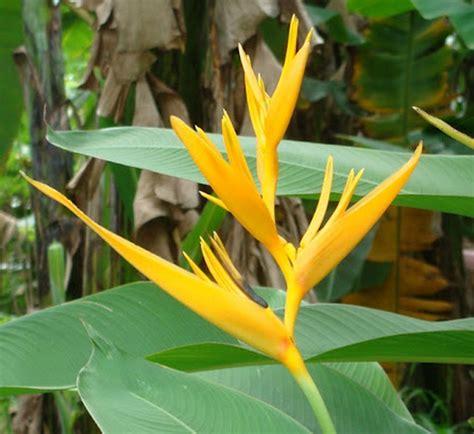 tanaman yellow heliconia bibitbungacom