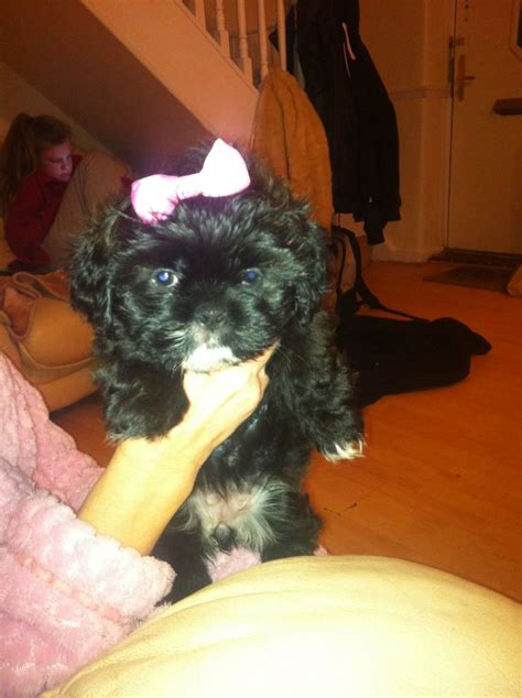 chocolate shih tzu for sale chocolate brown shih tzu puppy for sale dagenham essex pets4homes