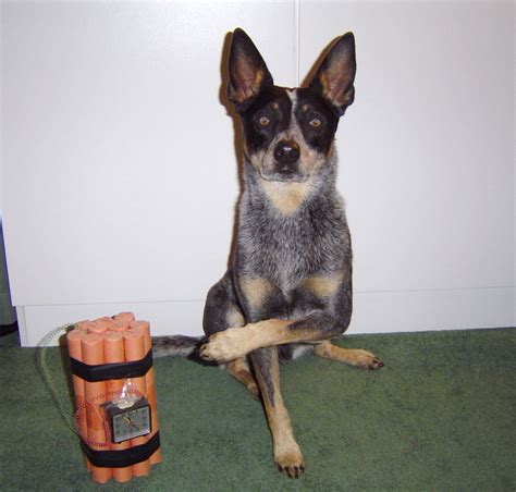 bomb dogs coyote activities