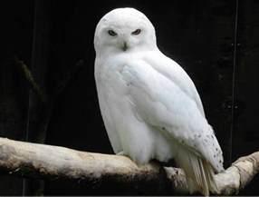 snowy owls migration joy enjoys