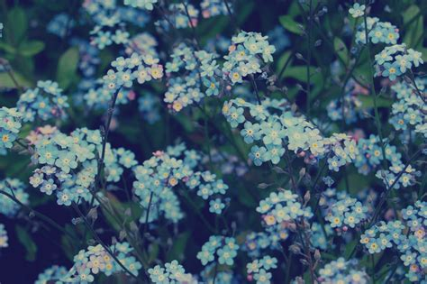 wallpaper flower tumblr blue blue flowers nature forget me not sci universe
