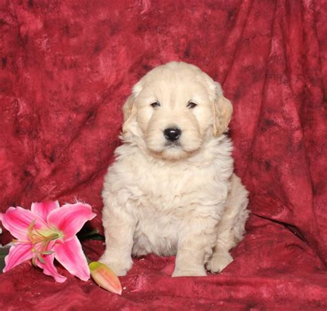 goldendoodle puppies arkansas goldendoodle breeders in arkansas goldendoodle puppies for sale in breeds picture