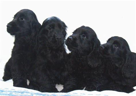 black cocker spaniel puppies black cocker spaniel puppies for sale gainsborough