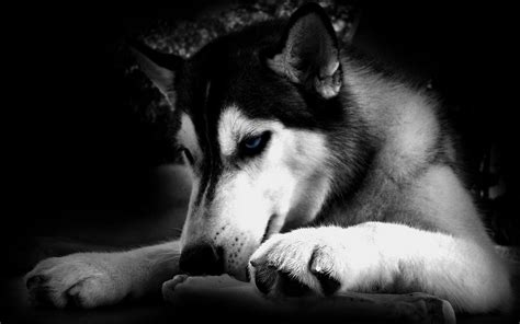 wolf with black wolf with blue pictures s