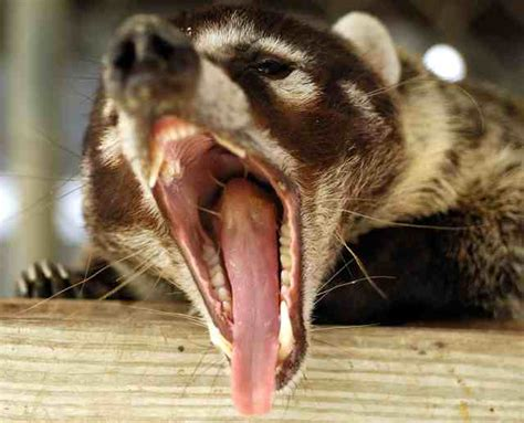 kudamundi animal what are the sizes coati diet consultanttoday