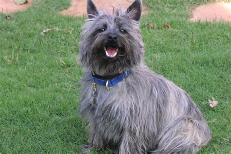 cairn puppies cairn terriers for sale