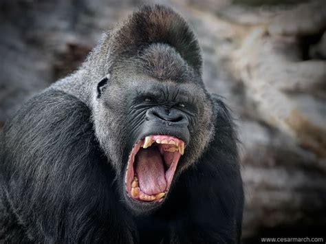 tattoo nightmares gorilla 753 besten dap of kong the big ape bilder auf pinterest