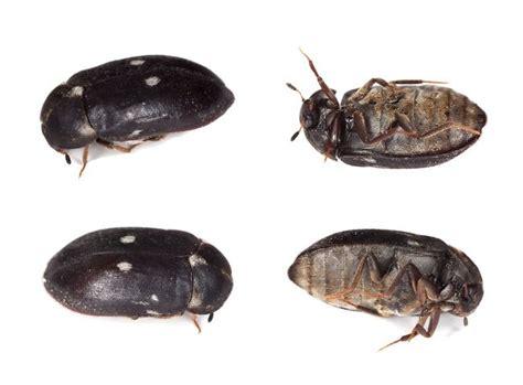 what eats bed bugs szubak dwukropek opis szkodliwość i zwalczanie