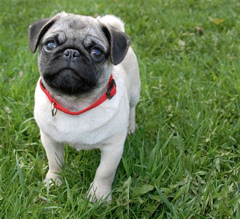 minature pugs miniature pug dogs breeds picture