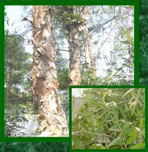 Bibit Pohon Kayu Putih kumpulan budidaya budidaya kayu putih