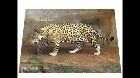 jaguar vs cheetah differences between jaguars leopards and cheetahs