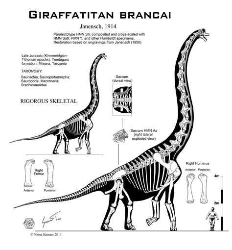 Bone Structure 5634 giraffatitan brancai hi fi skeletal by paleo king