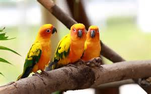 birds wallpaper wallpapers love birds wallpapers