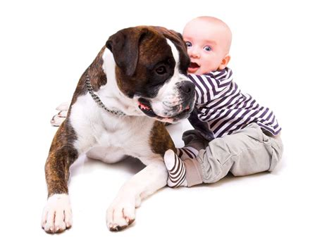 newborn boxer puppies pin new born boxer puppies image search results on