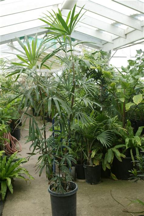 palm house plants palms as house plants culture of palm houseplants the best palms for indoor plants