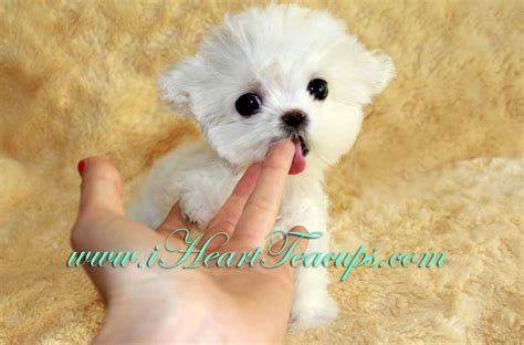 maltipoo puppies for sale los angeles micro teacup maltipoo pocket micro teacup puppy for sale in los angeles a