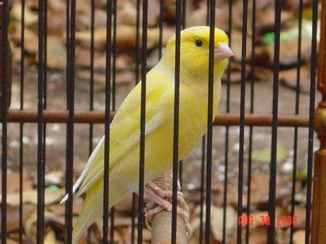 Tempat Makan Burung Kenari cara memilih burung kenari jenis burung berkicau