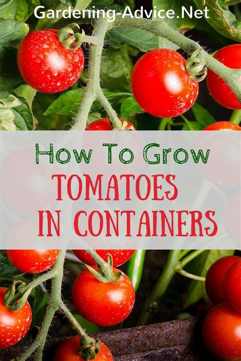 growing tomatoes in pots how to grow tomatoes indoors or