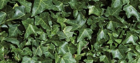 english ivy english ivy what a creep forterra