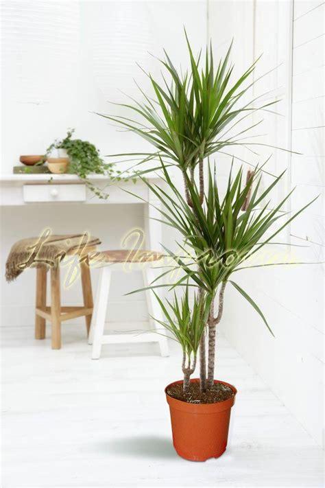 Ls For Indoor Plants by Easyplants Traditionnel Evergreen Indoor Plant Jardin