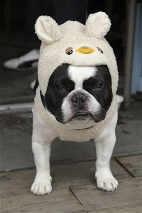 pug sheep 1000 images about funnies to laugh at on perry scary and caricatures