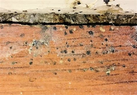 bed bug evidence signs of bed bugs mr bed bugs