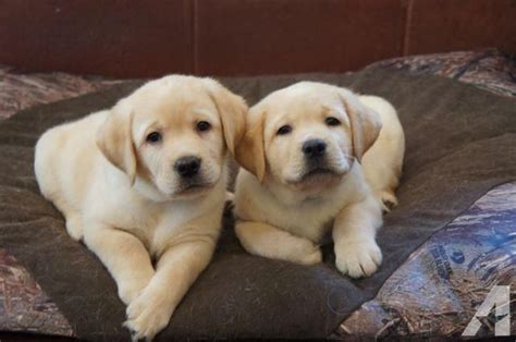 yellow lab puppies for sale wi chion sired akc yellow labrador retriever puppies for sale in prairie