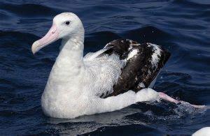 wandering albatross facts lifespan predators pictures