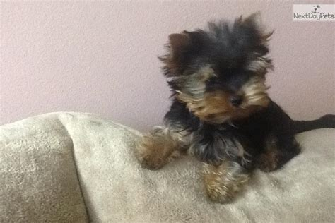 4 month yorkie weight terrier yorkie puppy for sale near new york city new york 360929bf 0a11