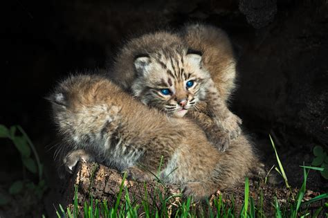 wallpaper bobcat kitten blue eyes  animals