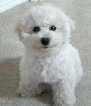 bichon frise puppy cut bichon frise hair cut