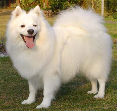 spitz breeds japanese spitz or js breed profile petplanet co uk