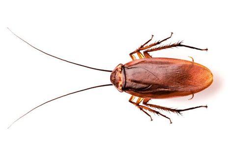 blatte rosse volanti scarafaggio volante 28 images disinfestazione