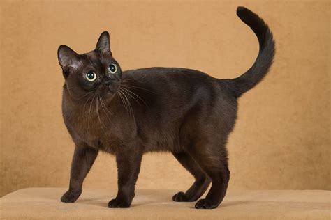 Black Lovely Cat 50 mind blowing burmese cat collection golfian