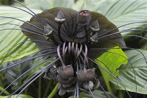 Daliya Batwing the spooky looking plant the black bat flower or tacca