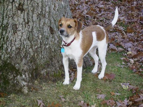 puppies for adoption charleston sc rat terrier and beagle mix the best rat of 2017