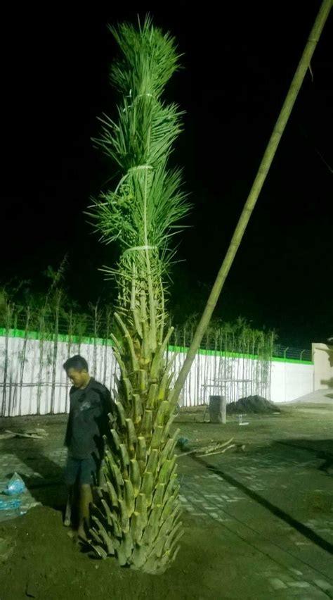 Bibit Sengon Kediri jual pohon kurma di sit jual bibit tanaman unggul