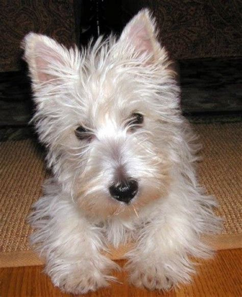 wheaten scottish terrier puppies for sale scottish terriers 3 breeds picture