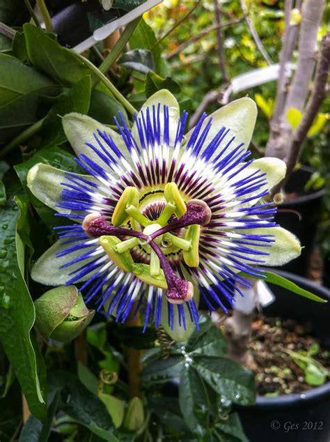 fiore della passione foto il fiore della passione juzaphoto